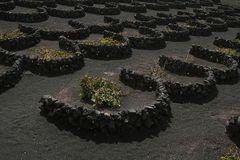 Weinbau auf Lanzarote