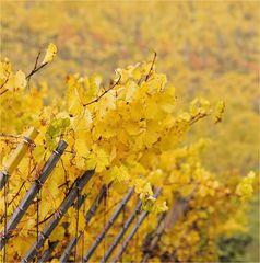 Weinberg im Herbst 1
