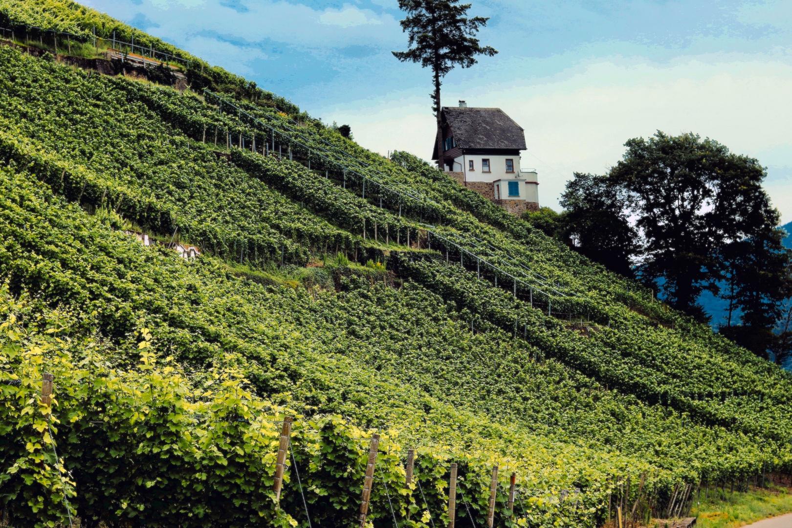 Weinberg in Emmendingen