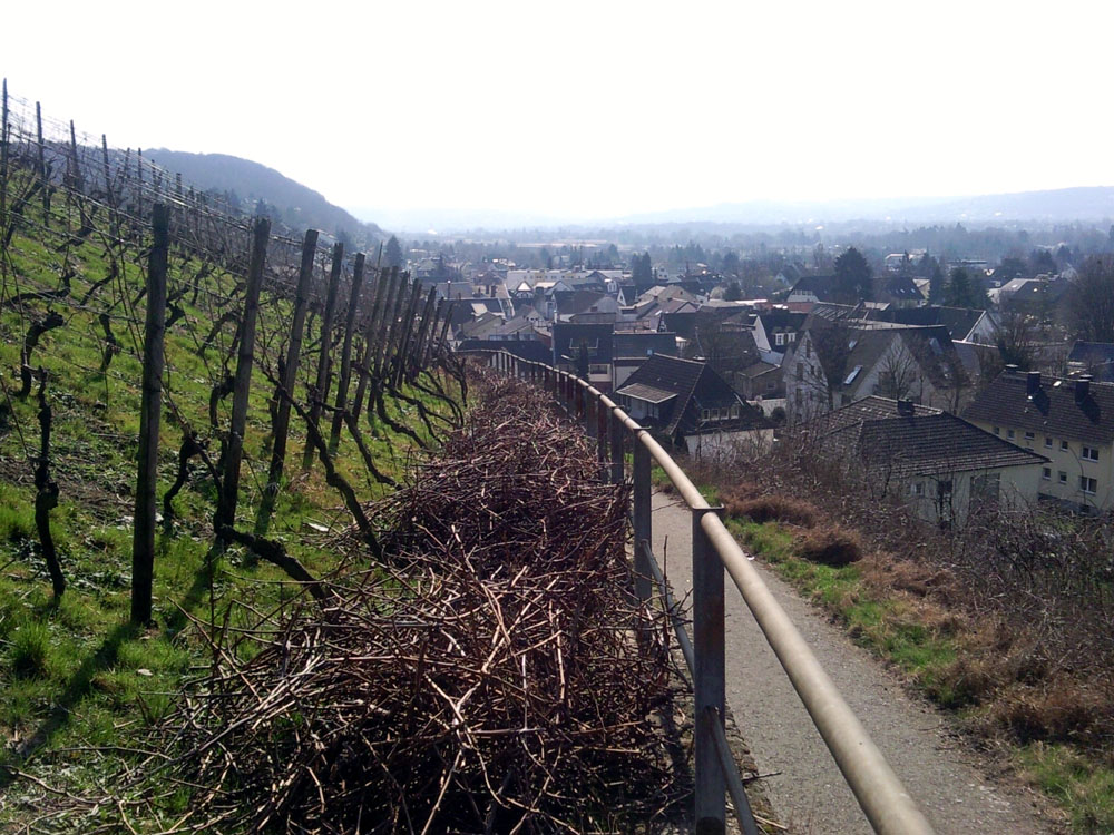 Weinberg in Oberdollendorf (1)
