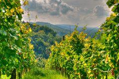 Weinberg in Weingarten mit Blick Richtung Nordschwarzwald