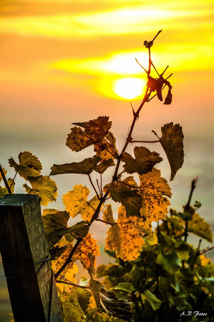 Weinberge im Herbst.