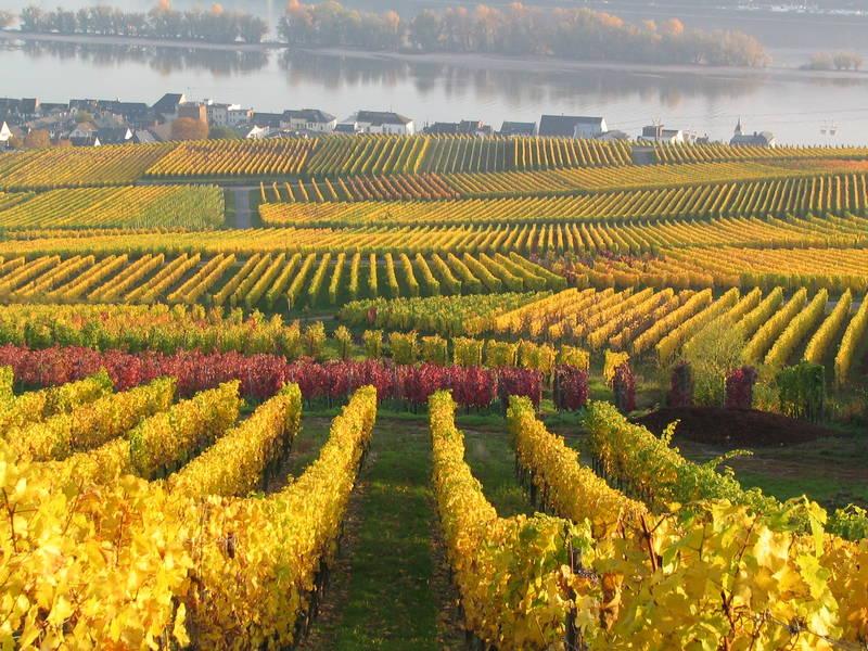 Weinberge im Herbst in Rüdesheim am Rhein