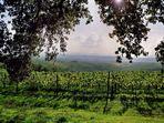 Weinberge in der Toskana