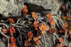 Weinbergmauerblümchen