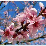 Weinbergpfirsichblüten