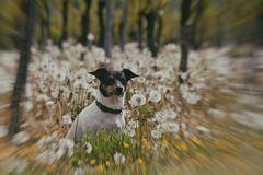 Weinbergpusteblumenhund