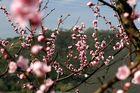 Weinberpfirsichblüten