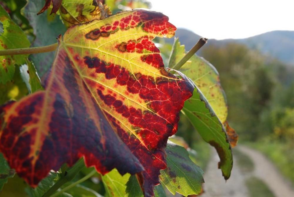 Weinblätter im Herbst an der Ahr