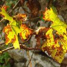 Weinblätter in der Morgensonne