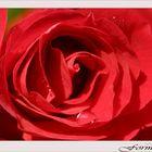 Weinende Rose...