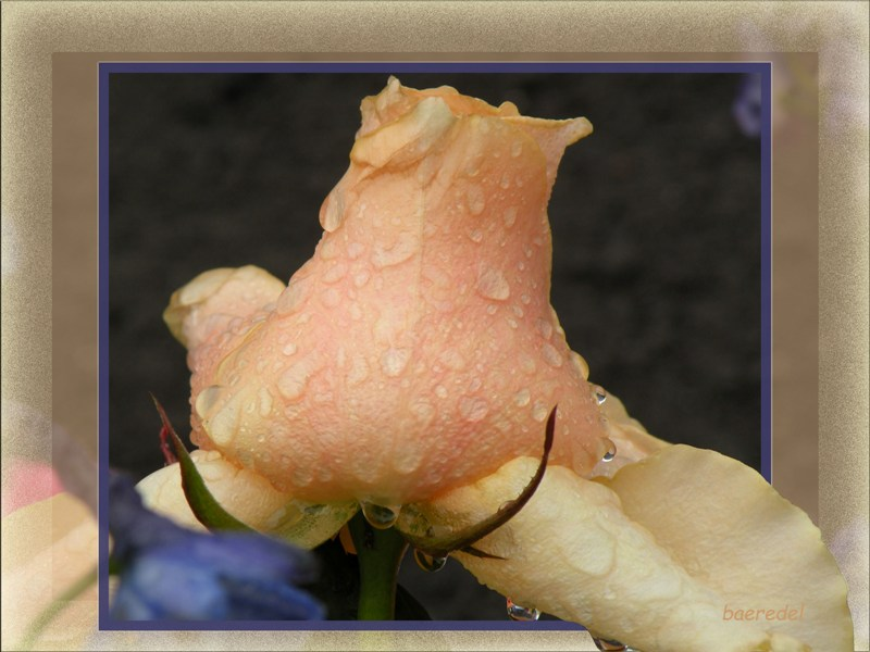 * weinende Rose *