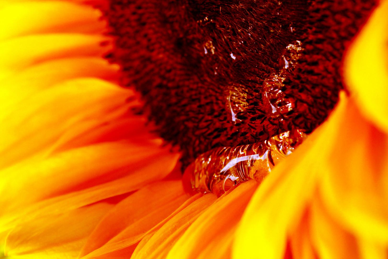 weinende Sonnenblume