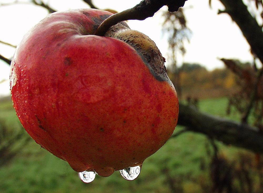 Weinender Apfel