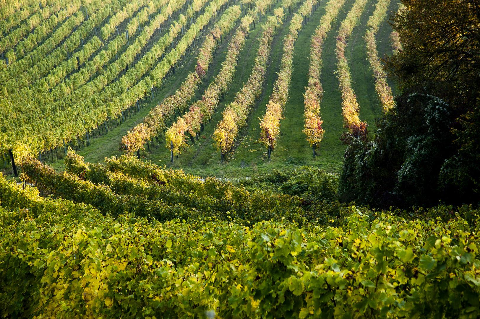 Weingarten im Herbst