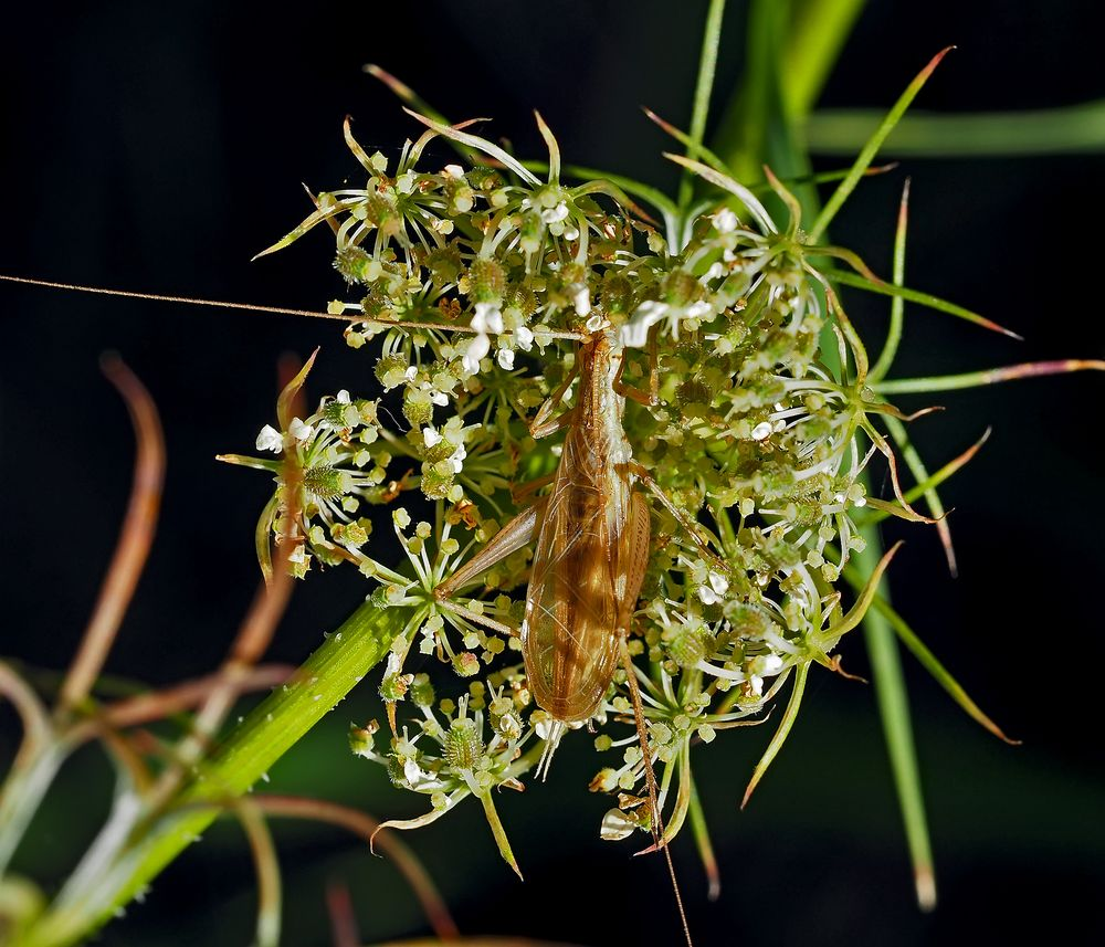 Weinhähnchen, Blütengrille  (Oecanthus pellucens) *