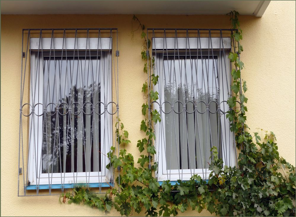 Weinrebe am Fenster