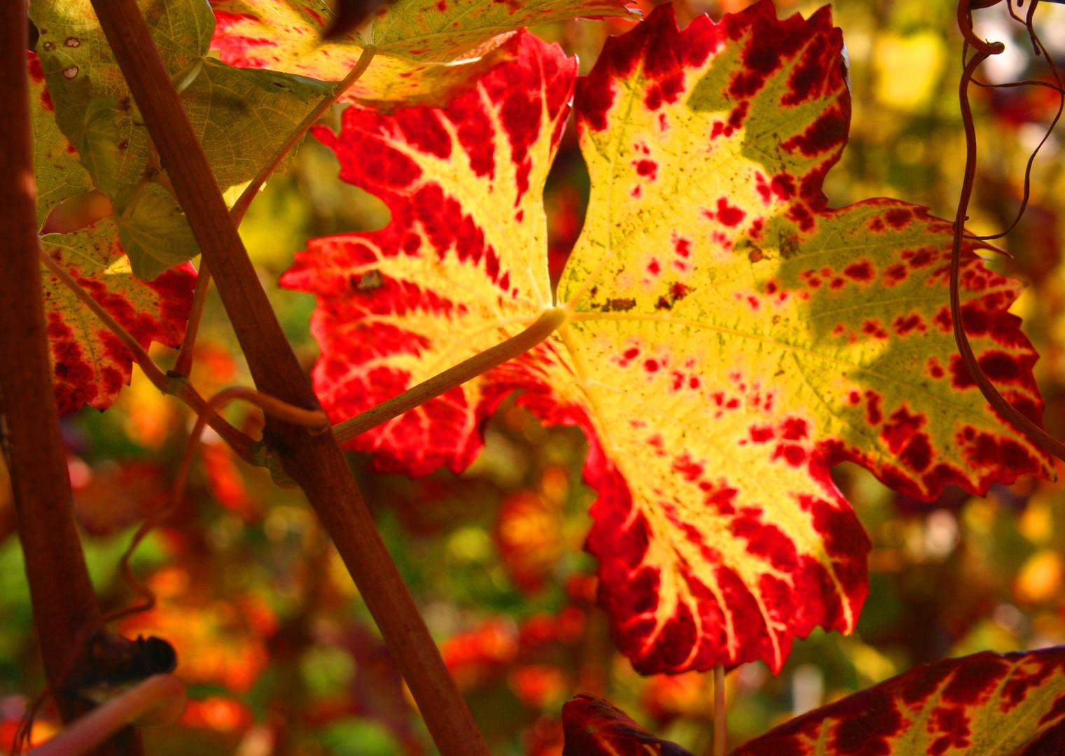 Weinrebe im Herbstlicht