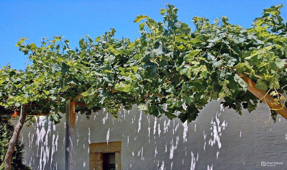 Weinreben, südliches Flair