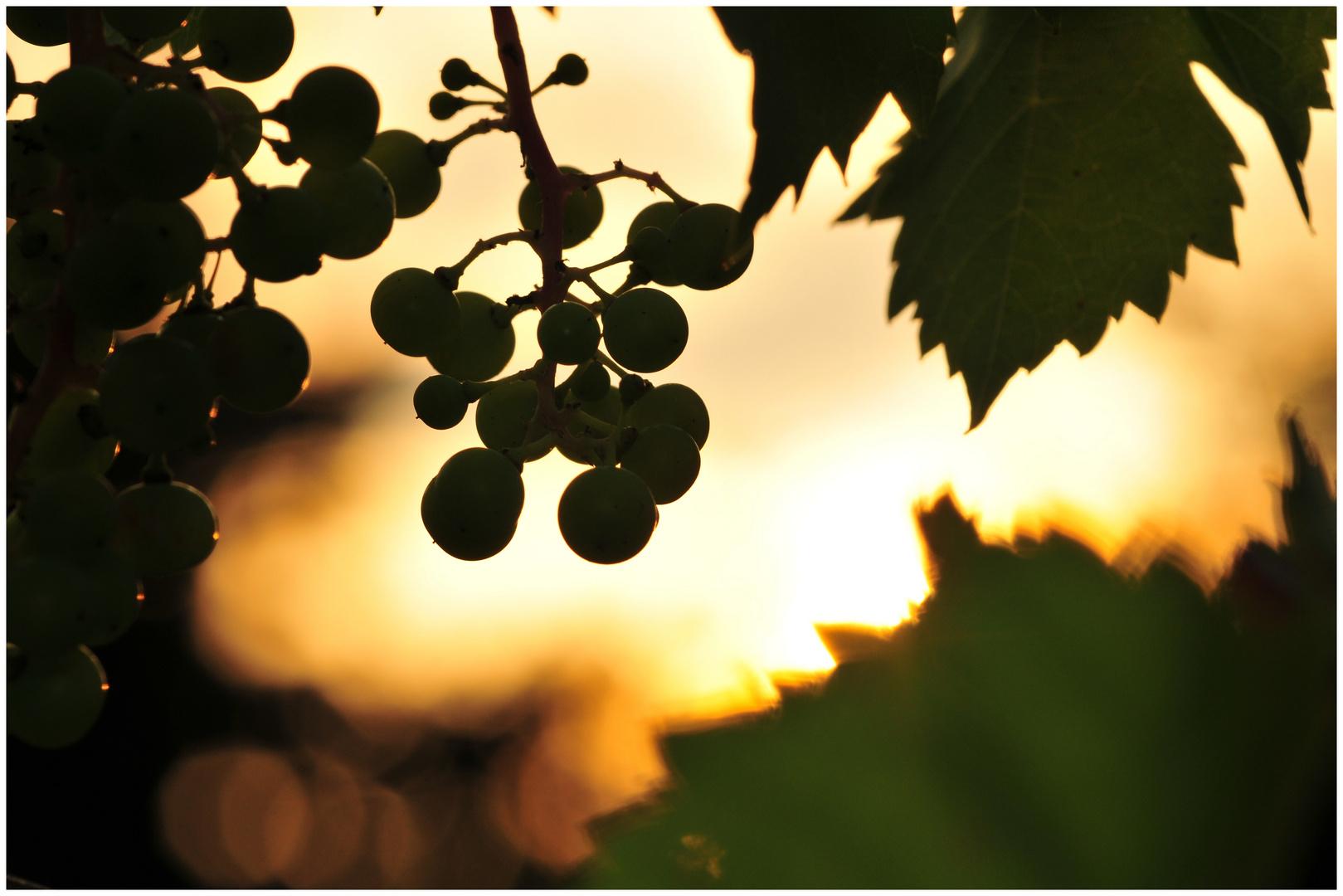 Weintrauben ...
