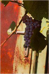 Weintrauben erobern eine Hauerhütte