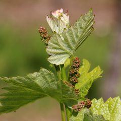 Weintrauben im Mai