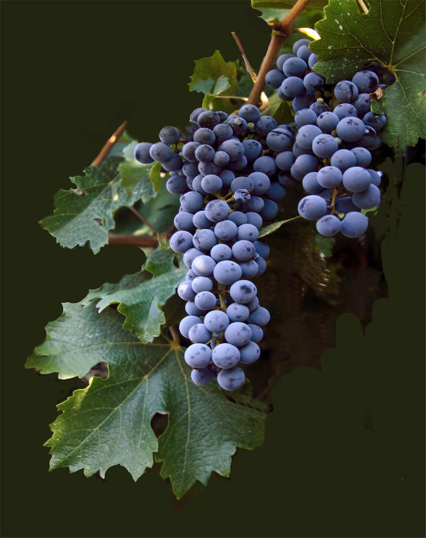 Weintrauben IV
