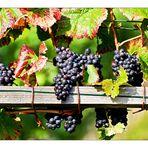 Weintrauben mit herbstlichen Blättern