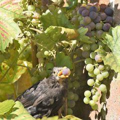 Weintrauben-Räuber
