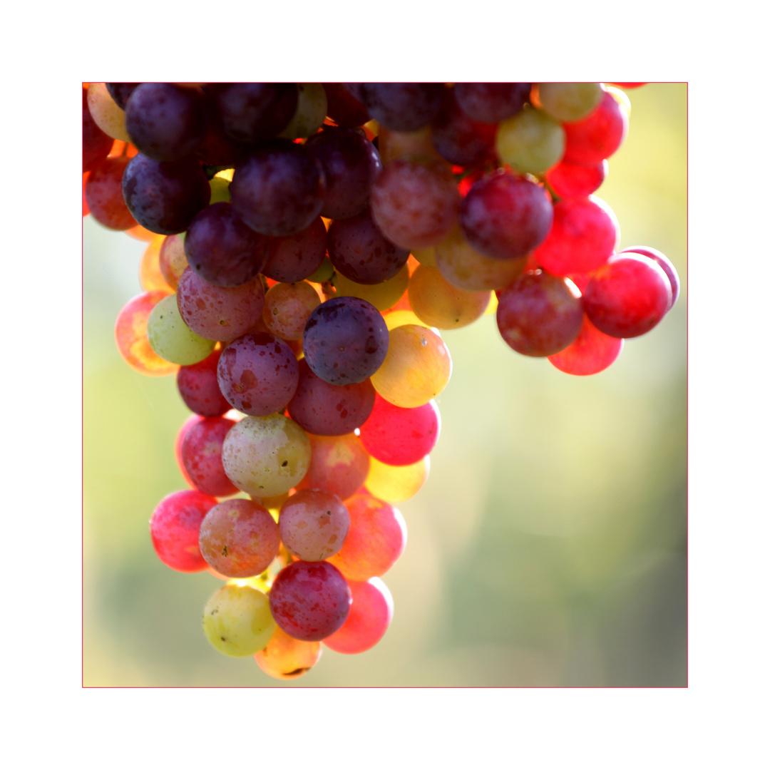 Weintraubenfarben