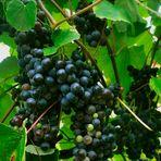 Weintraubenzeit
