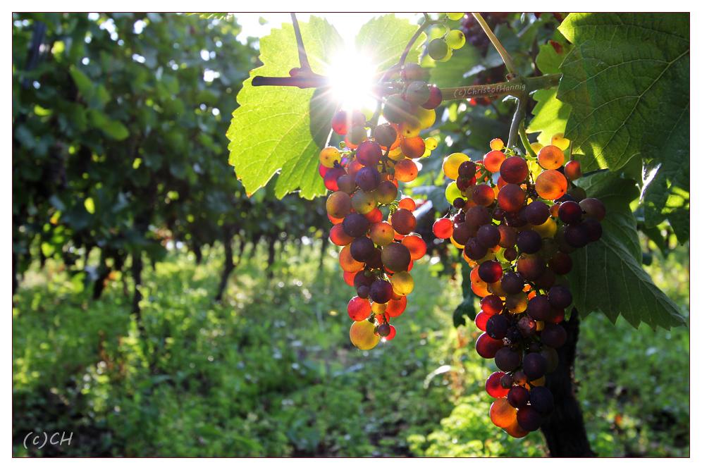 Weinzeit im Moselland