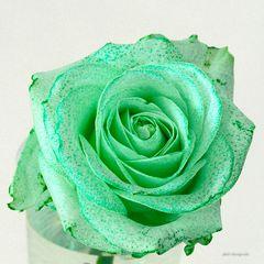 Weise Rose, grün gefärbt...