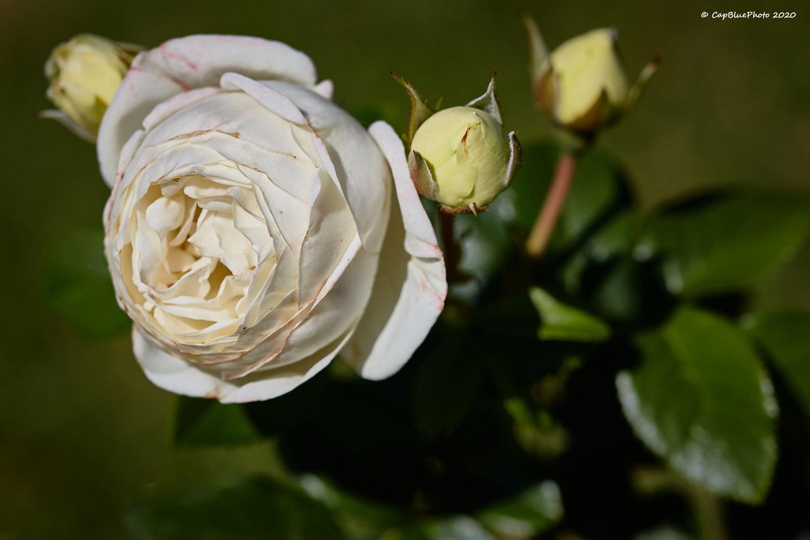 Weise Rose im Rosengarten Beutig Juli 2020