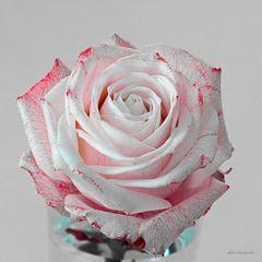 Weise Rose, rot gefärbt