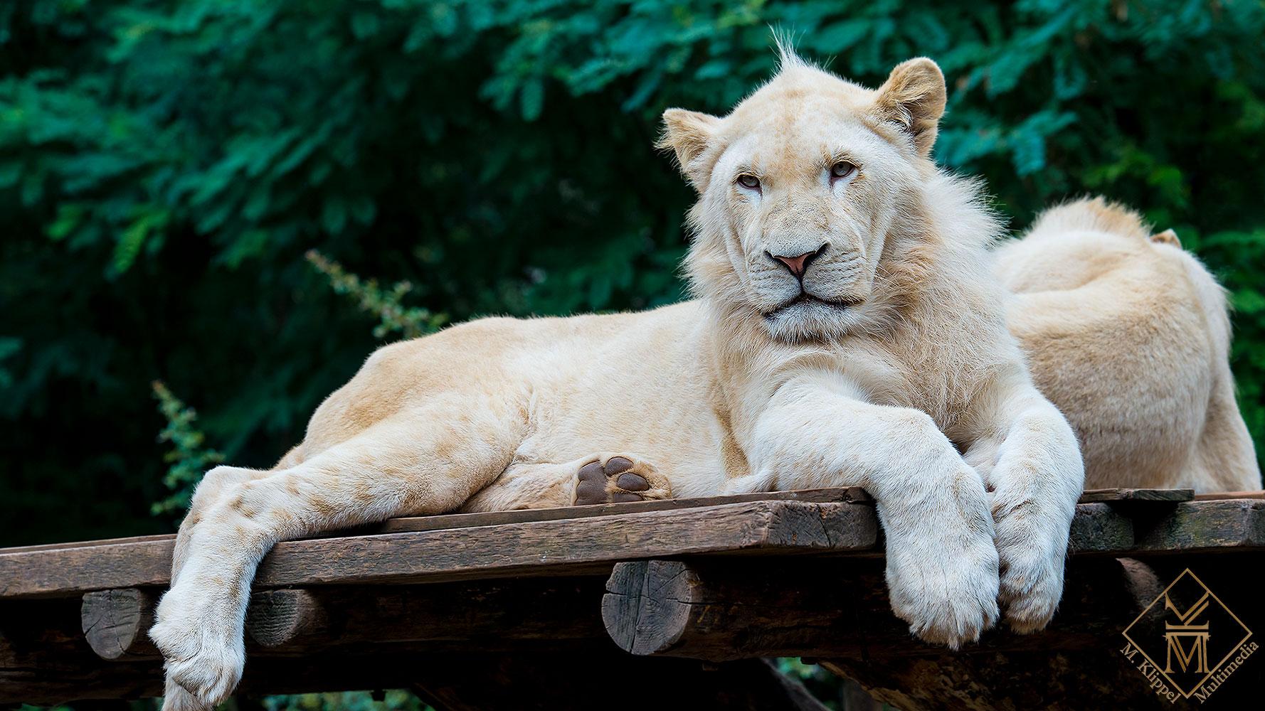 Weiser Löwe