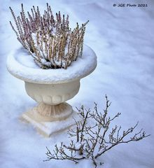 Weiser und roter Erika im Winter im Garten