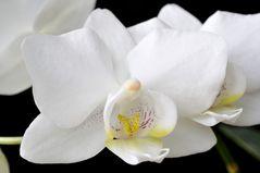 weiß-gelb-magenta
