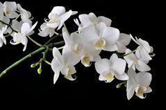weiß-gelb-magenta Orchideentraube