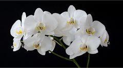 weiß-gelbe Phalaenopsis 1