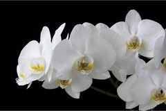 weiß-gelbe Phalaenopsis 2