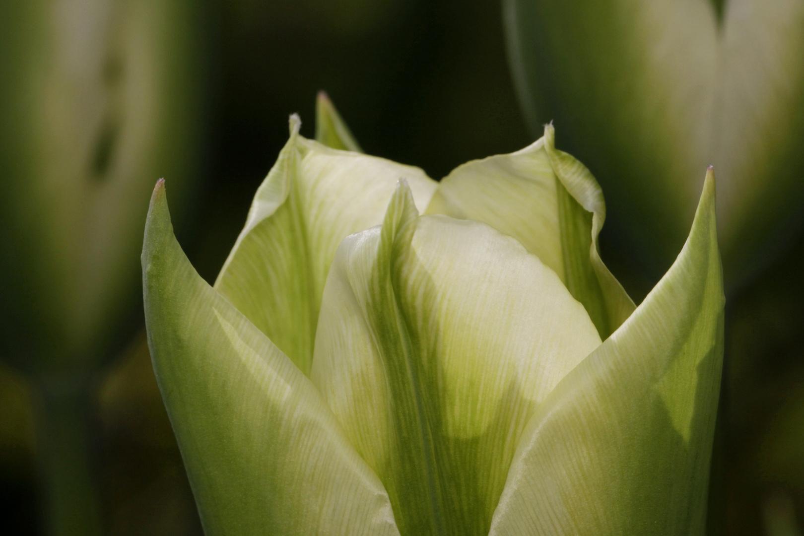 weiß-grüne tulpe