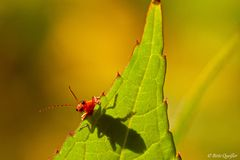 Weiß jemand was das für ein Käfer ist? Mit richtiger Bezeichnung? Guckuck wer ist denn da?