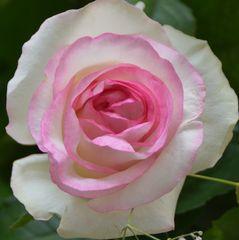 weiß-rosa Rosenblüte, zart, dezent