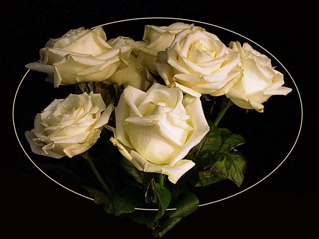 Weiß Rose II