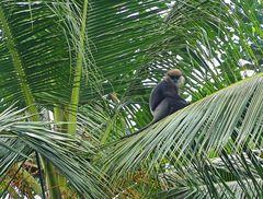 Weissbart im Palmenhain