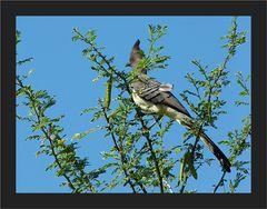 Weissbauchlärmvogel