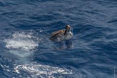 Weißbauchtölpel mit Fliegenden Fisch 2