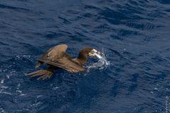 Weißbauchtölpel mit Fliegenden Fisch