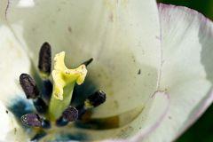 weissblaue Tulpe